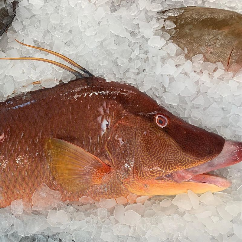 Hog Fish on Ice ready for sale